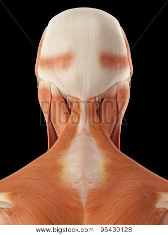 medical accurate illustration of the head and neck muscles