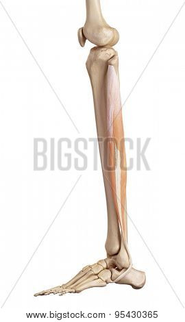 medical accurate illustration of the peroneus longus