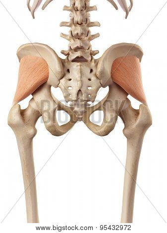 medical accurate illustration of the gluteus minimus