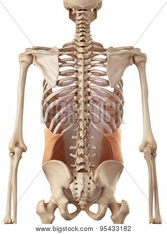 medical accurate illustration of the external oblique