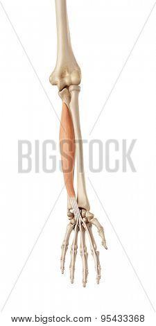 medical accurate illustration of the flexor digitorum profundus