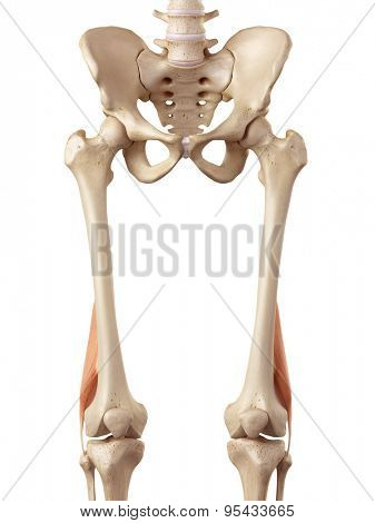 medical accurate illustration of the biceps femoris short