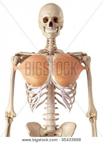 medical accurate illustration of the pectoralis major