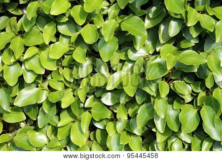 Fresh leafy green background in summer.