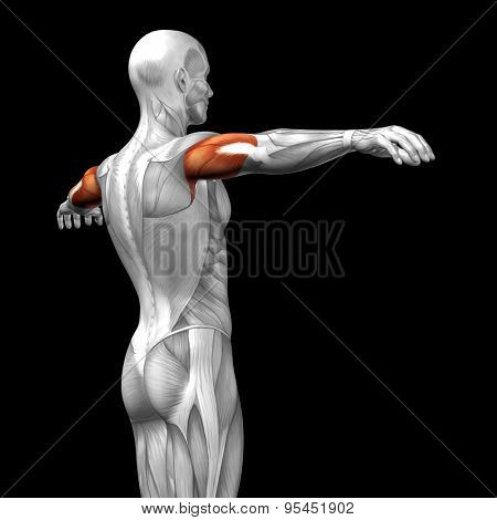 Concept or conceptual 3D triceps human anatomy or anatomical and muscle isolated on black background