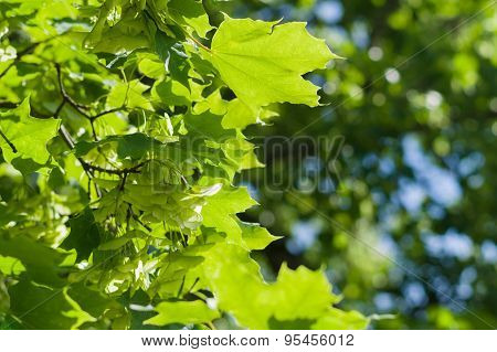 Maple Tree Branch With Bunch Of Seeds, Summer Nature Background