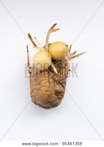 The vegetable  potatoes on a background.