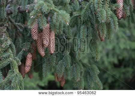 Beautiful fir branch with cones