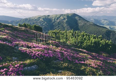 Glade mountain flowers. Sunny day in good weather. Carpathians, Ukraine, Europe. Color toning. Low contrast. Instagram effect
