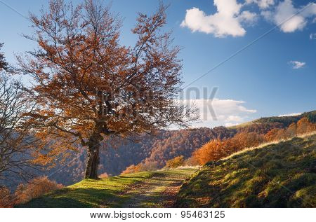 Autumn landscape on a sunny day. The road in the mountains. Beech tree with orange leaves