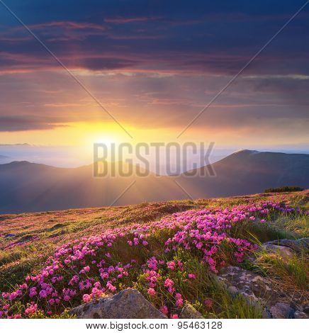 Glade of blossoming rhododendrons. Summer landscape with pink flowers. Beautiful sunrise. Carpathian Mountains, Ukraine