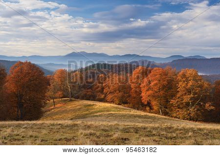 Beech forest with orange leaves. Autumn landscape on a sunny day in the mountains. Carpathians, Ukraine, Europe