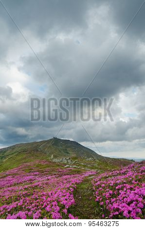 Rhododendron flowers in the mountains. The old observatory on top. Cloudy day. Carpathians, Ukraine, Europe
