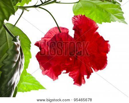 Hibiscus rosa-sinensis L. close up