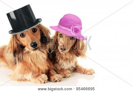 Two dachshunds, a male and female wearing a top hat and straw hat. Love and marriage concept.