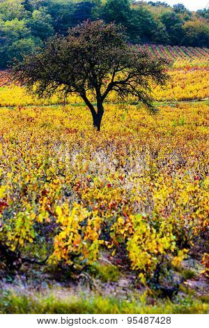 vineyard with tree in Beaujolais, Rhone-Alpes, France