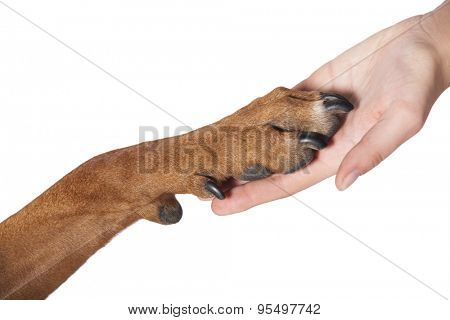 Dog paw and human hand doing handshake. Isolated over white.