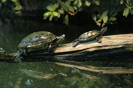 stock photo of cooter  - River cooter  - JPG