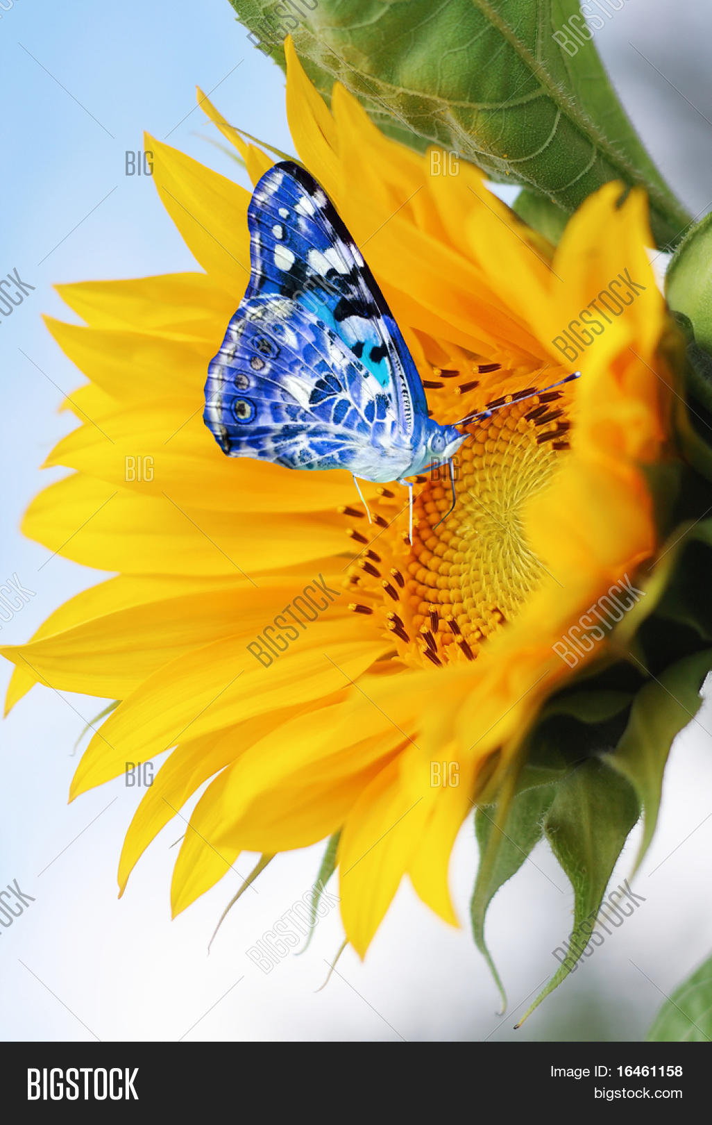 Sunflower Blue Butterfly Image & Photo | Bigstock