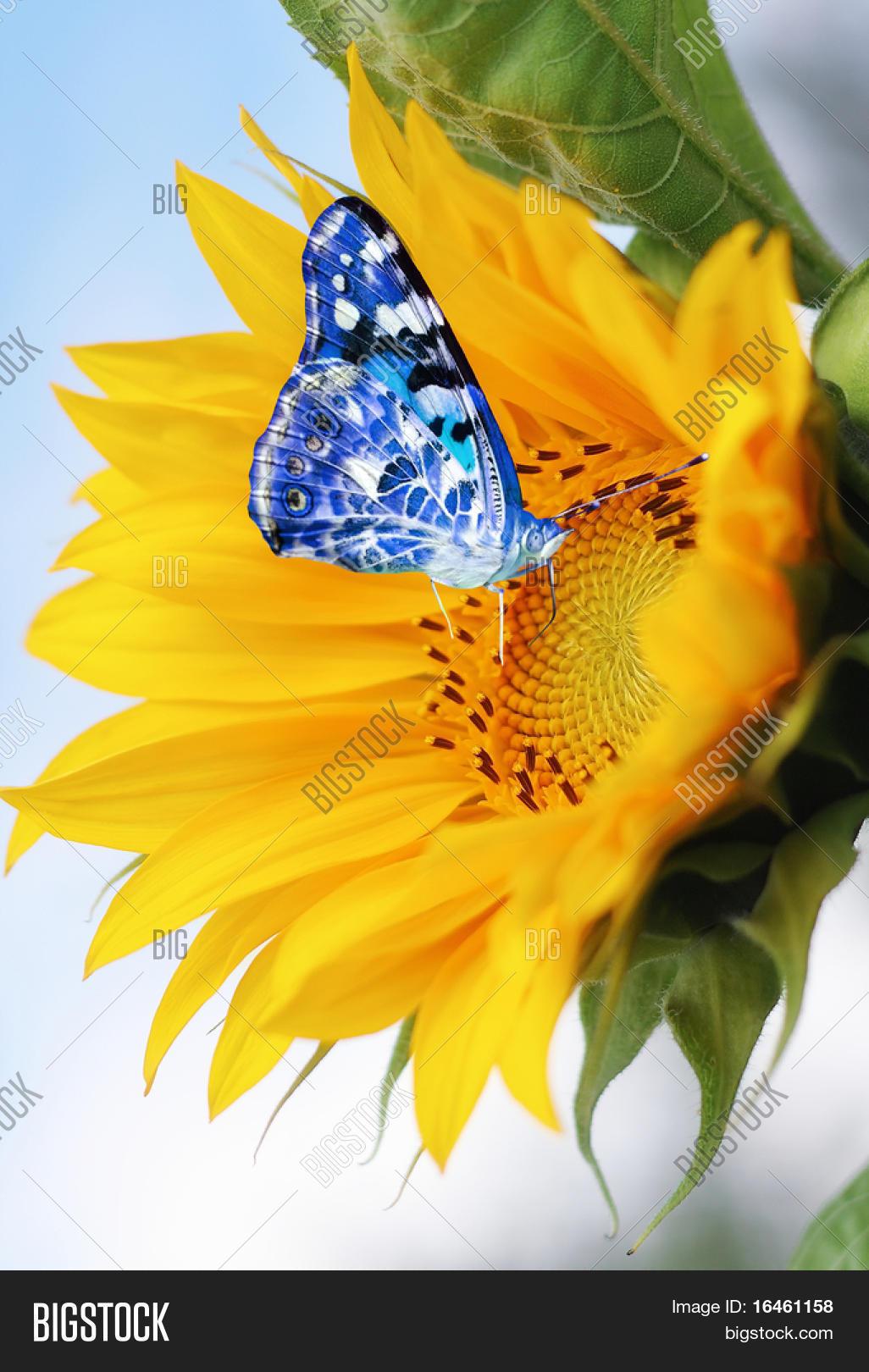 Sunflower Blue Butterfly Image & Photo | Bigstock