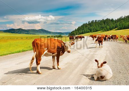 Herde Kühe