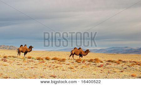 Two camels, Gobi Desert, Mongolia