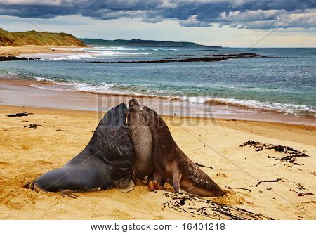 Male sea lion with two females on the beach, New Zealand