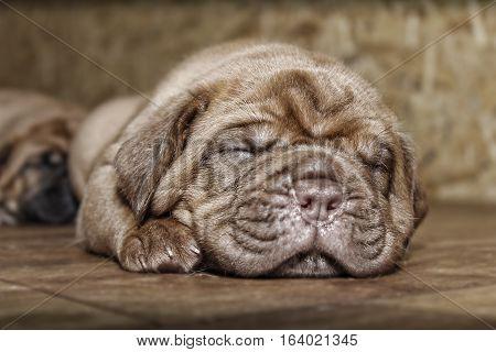 Dogue De Bordeaux - Puppies