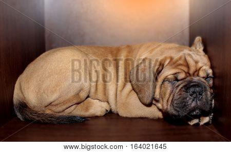 Dogue De Bordeaux Small Puppy