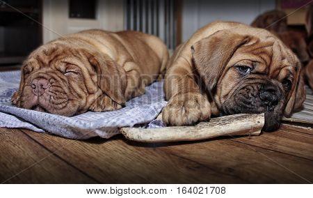 Dogue De Bordeaux - Two Puppies