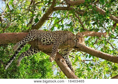 Beautiful leopard sleeping on tree in Serengeti, Tanzania