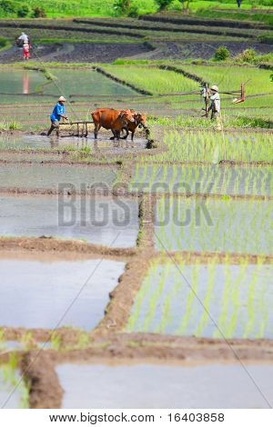 Farmer with buffaloes working on rice field in Northern Bali Indonesia