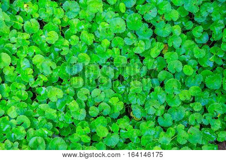 Asiatic Pennywort or Centella Asiatica or green plant leaf with water