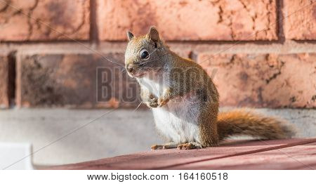 Endearing, springtime Red squirrel, close up,  sitting up on a deck, paws tucked to chest.