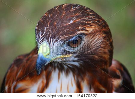 Close Up Portrait Of A Harris Hawk