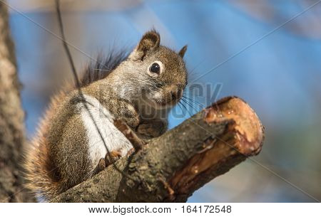 Endearing, springtime Red squirrel, close up,  Sitting up on a branch stump on a Northern Ontario pine tree, paws tucked to chest.