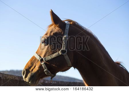 Close-up of a purebred saddle horse in winter corral