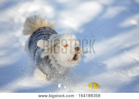 Barking Havanese Dog With Ball In The Snow