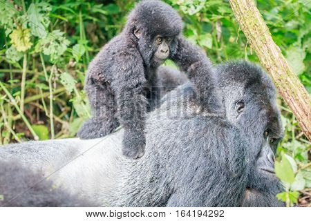 Baby Mountain Gorilla On The Back Of A Silverback.