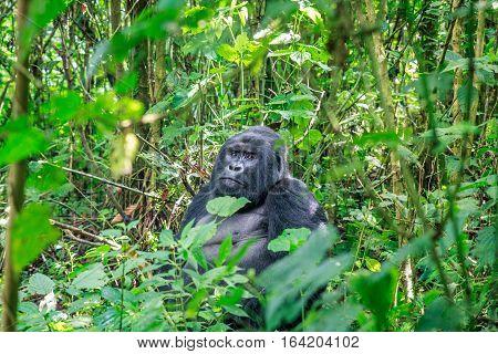 Silverback Mountain Gorilla Sitting In Leaves.
