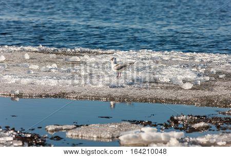 Gull on melting ice floe in spring