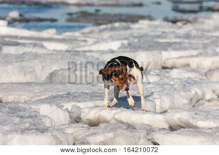 Dog runs on melting ice floes in the spring