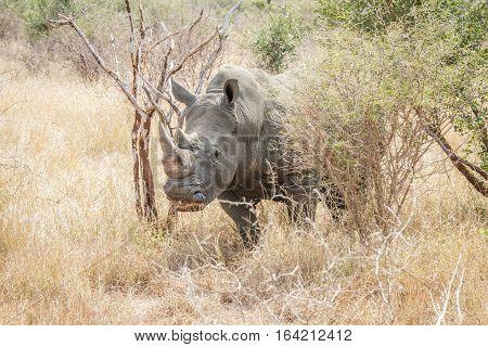 White Rhino In The Bush.