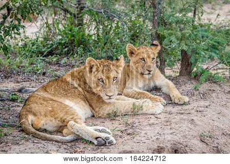 Two Lion Cubs Laying In The Sand.