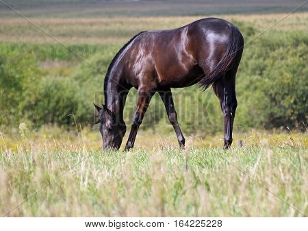 Purebred black horse  is grazed on a meadow