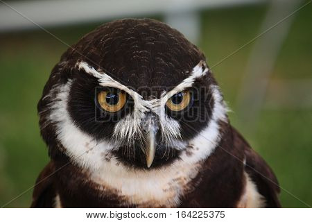 beautiful black and white spectacle owl bird