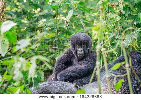 Baby Mountain Gorilla Sitting On A Silverback.