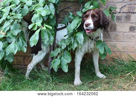 Cute Working Type English Springer Spaniel Hiding Behind A Tree