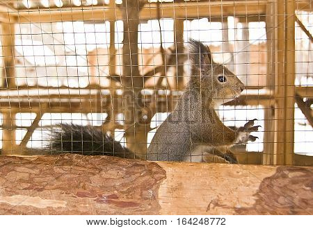 squirrel in a cage live squirrel in a cage in the winter
