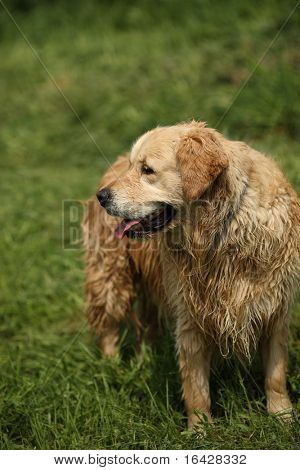 Lovely golden retriever right after a bath standing on green grass in a park